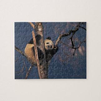 Baby panda playing on tree, Wolong, Sichuan Jigsaw Puzzle