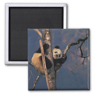 Baby panda playing on tree, Wolong, Sichuan Square Magnet