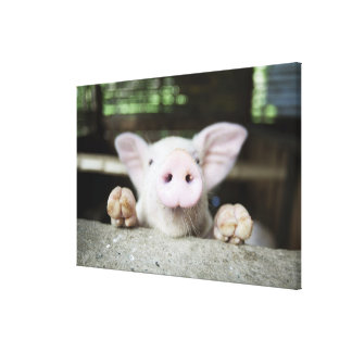 Baby Pig in Pen, Piglet Canvas Print