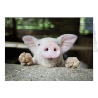 Baby Pig in Pen, Piglet Greeting Card
