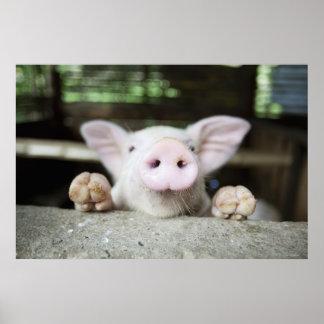 Baby Pig in Pen, Piglet Poster