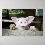 Baby Pig in Pen, Piglet Print