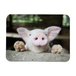 Baby Pig in Pen, Piglet Rectangular Photo Magnet