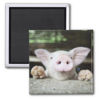 Baby Pig in Pen, Piglet Square Magnet