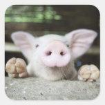 Baby Pig in Pen, Piglet Stickers