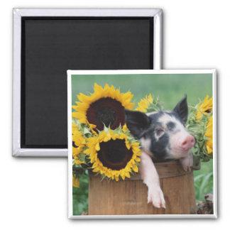 Baby Piglet Pig Square Magnet