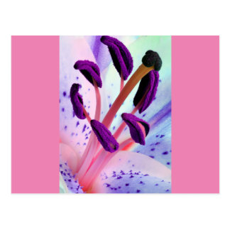 Baby Pink and Purple Tiger Lily Flower Postcard