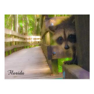 Baby Raccoon in Florida Postcard