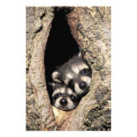 Baby raccoons in tree cavity Procyon