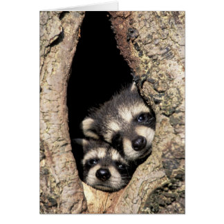 Baby raccoons in tree cavity Procyon Greeting Card