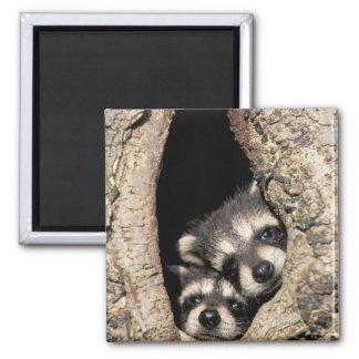 Baby raccoons in tree cavity Procyon Magnet
