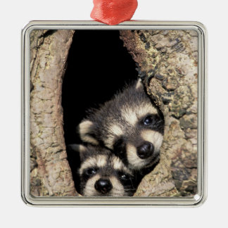 Baby raccoons in tree cavity Procyon Silver-Colored Square Decoration
