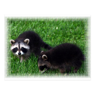 Baby Raccoons Postcard