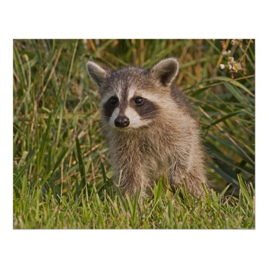 Baby Racoon 2 Poster
