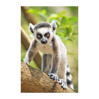 Baby ring-tailed lemur canvas print