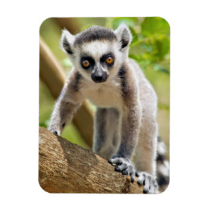 Baby ring-tailed lemur magnet