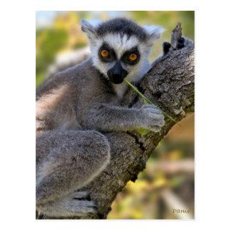 Baby Ring Tailed Lemur Postcard