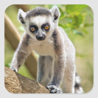Baby ring-tailed lemur square sticker