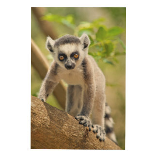 Baby ring-tailed lemur wood canvas