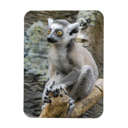 Baby Ringtailed Lemur Premium Magnet Magnet