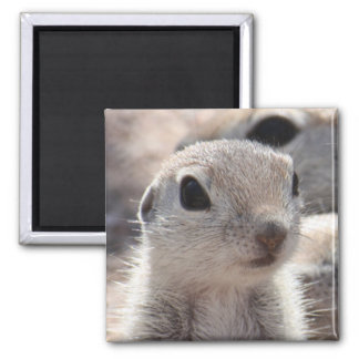 Baby Round-tailed Squirrel Magnet