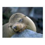 Baby sea lion, Galapagos Islands Postcard