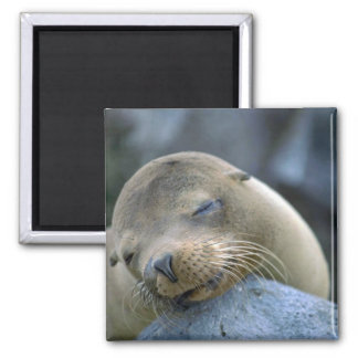 Baby sea lion, Galapagos Islands Square Magnet