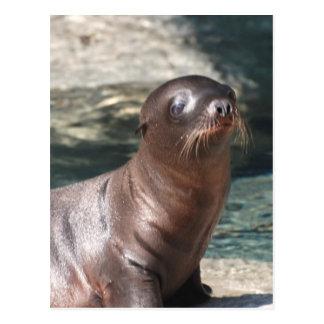 Baby Sea Lion Postcard