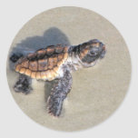 Baby Sea Turtle, Just Hatched