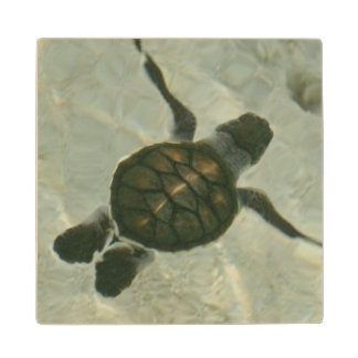 Baby Sea Turtle Swimming Out To Sea Maple Wood Coaster