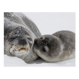 Baby Seal Kissing Mom Postcard