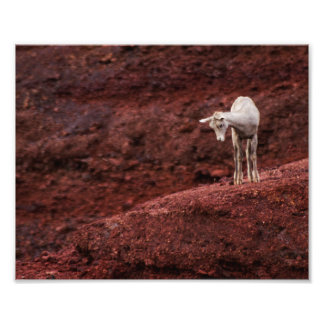Baby Sheep on red rocks Photo Print
