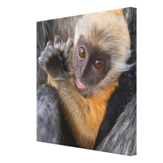 Baby Silvered Leaf Monkey (Lutung, Rachypithecus) Canvas Print