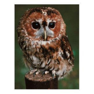 Baby Tawny Owl Postcard