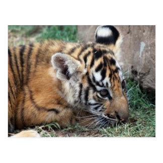 Baby Tiger cub lying down Postcard