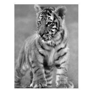 Baby Tiger in Black and white Postcard