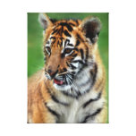 Baby Tiger in colour Stretched Canvas Prints