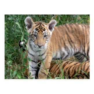 Baby Tiger Post Cards