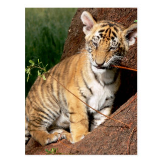 Baby Tiger Postcard