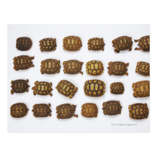 Baby tortoises arranged in rows postcard
