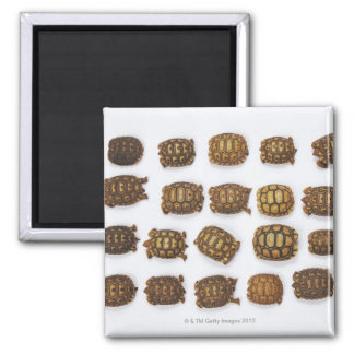 Baby tortoises arranged in rows square magnet