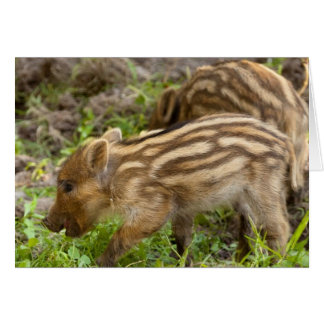Baby Wild Boar Card