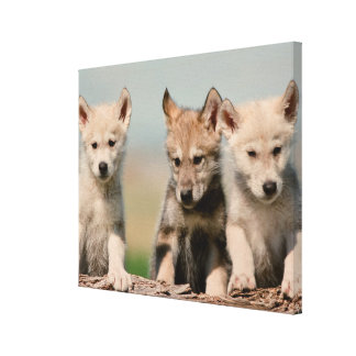 Baby Wolves Canvas Print