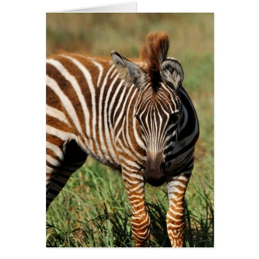 Baby Zebra Greeting Card