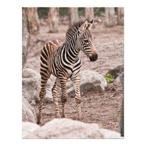 Baby zebra flyer design
