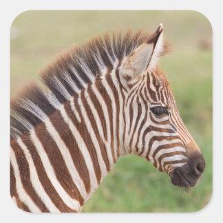 Baby zebra head, Tanzania Square Sticker
