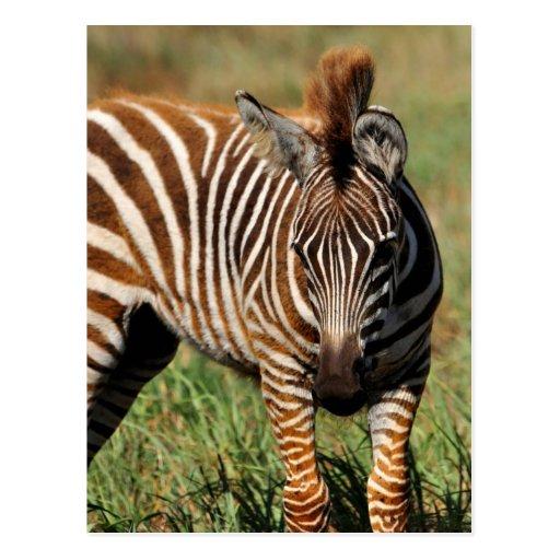 Baby Zebra Post Card