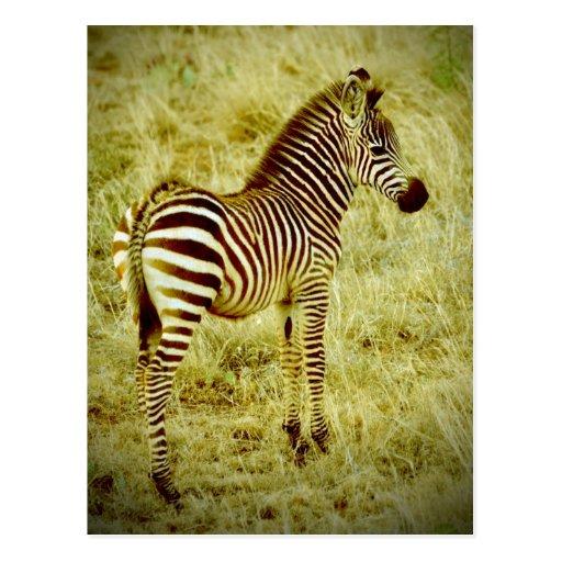 Baby Zebra Post Cards