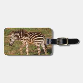 Baby Zebra walking, South Africa Luggage Tag