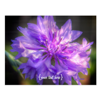 Bachelors Button Cornflower Postcard